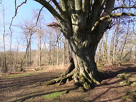Beech in Fineshade Wood