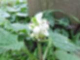 Fineshade Wood White Dead-nettle