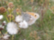 Small Heath in Fineshade Wood Photo: Barrie Galpin