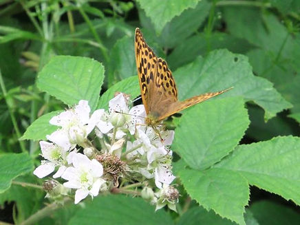Fineshade Wood Fritillary