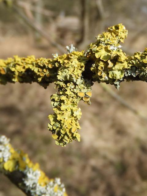 Lichen brightening the wintry wood