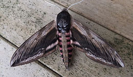 Fineshade Wood Privet Hawk-moth