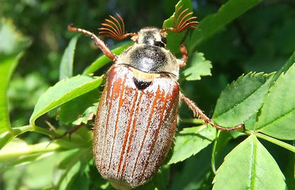 Fineshade Wood Cockchafer