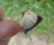 Purple Hairstreak Fineshade Wood