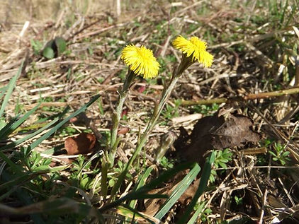 Fineshade Wood Coltsfoot