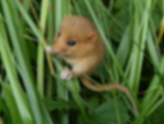 Dormouse in Fineshade Wood