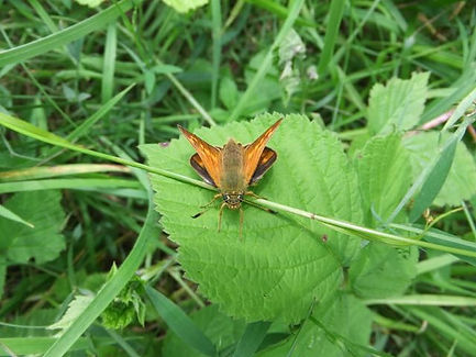 Fineshade Wood Large Skipper