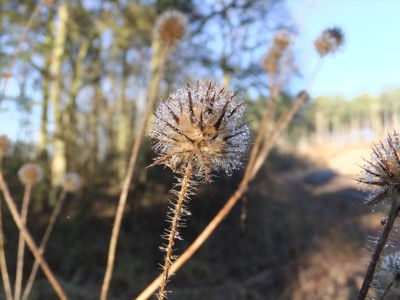 Fineshade Wood Small Teasel