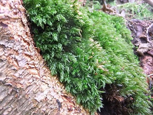 Moss in Fineshade Wood
