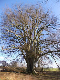 Beech tree in Fineshade Wood