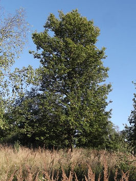 Wild Service tree  in Fineshade Wood