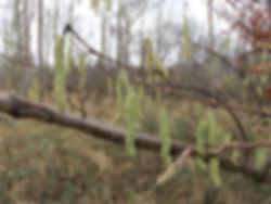 ineshade Wood hazel catkins