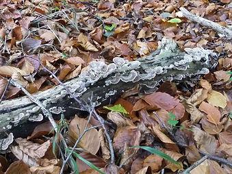 Fineshade Wood fungus Turkeytail