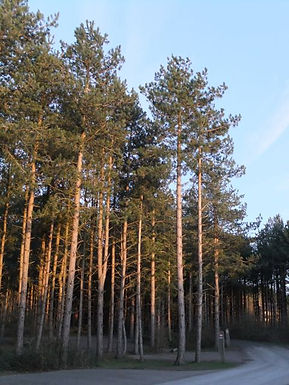 Corsican Pines in Fineshade Wood