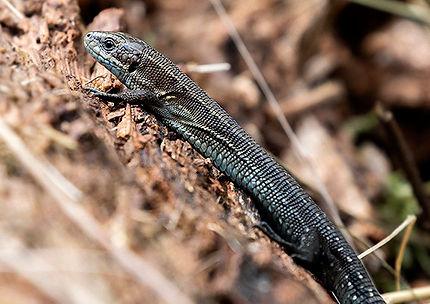 Common Lizard.JPG