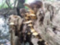 Fineshade Wood fungus Sulphur Tuft
