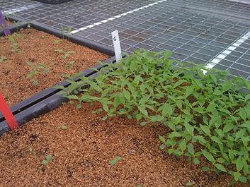 Elm seedlings 4.JPG