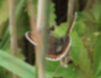 Fineshade Wood Brown Argus