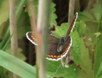Fineshade Wood Brown Argus