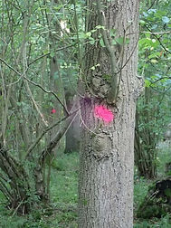 Pink dots in Fineshade wood