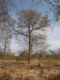 Fineshade Wood Oak