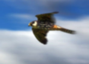 Hobby in flight Guy Pilkington