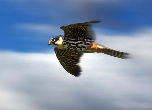 Hobby in flight Guy Pilkington
