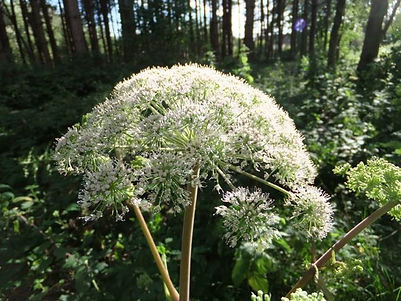 Fineshade Wood Angelica