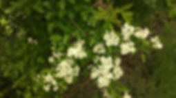 Hawthorn in Fineshade Wood