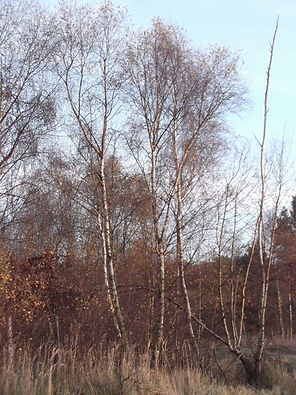 Silver Birch in Fineshade Wood