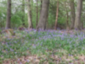 Fineshade wood bluebells