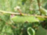 Puss Moth caterpillar.jpg