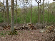Community coppicing in Fineshade Wood
