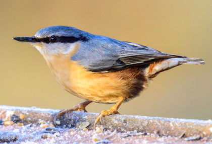 Nuthatch Fineshade Wood