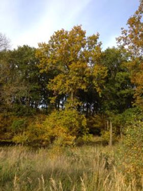 Mature oak in October  in Fineshade Wood