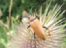 Red Longhorn Beetle