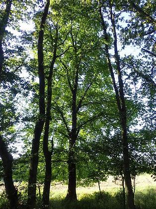 Elm sp in North Spinney-Assarts.jpg
