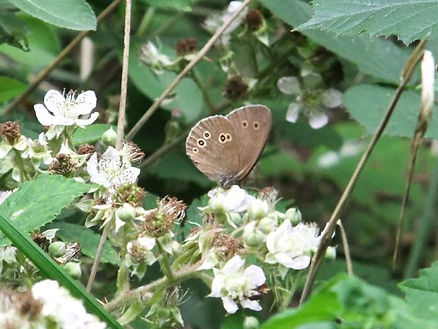 Fineshade Wood Ringlet