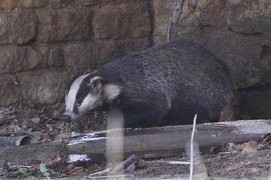 Fineshade Wood Badger