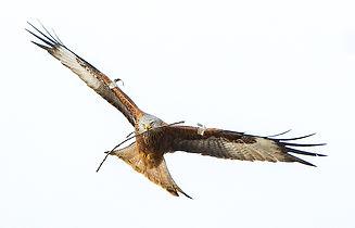 Red Kite Fineshade Wood