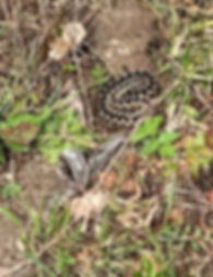 Adder with slough Mike Gerard.jpg