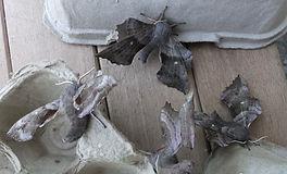Fineshade Wood Poplar Hawk-moth