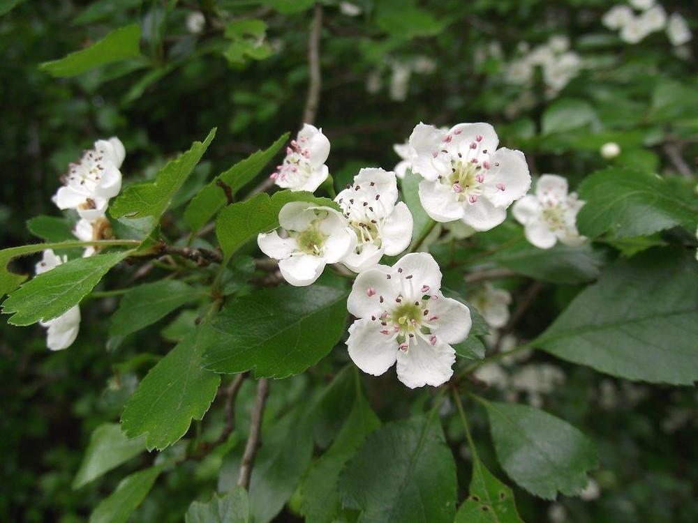 Midland Hawthorn blossom