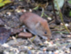 Fineshade Wood Bank Vole