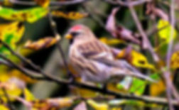 Redpoll Fineshade Wood