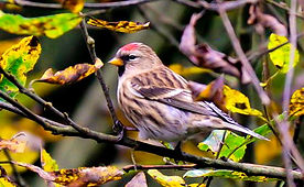 Fineshade Wood Lesser Redpoll