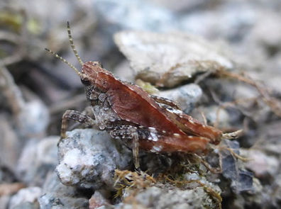 Fineshade Wood Groundhopper