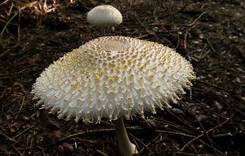 A parasol Leucoagaricus nympharum.JPG