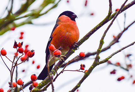 Fineshade Wood bullfinch