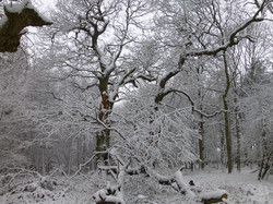 Oaks in the snow